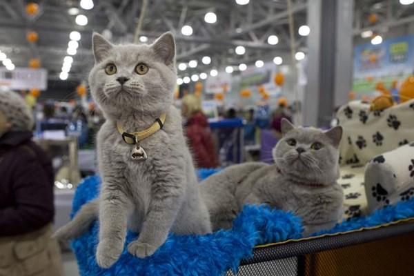 فشن شو گربه