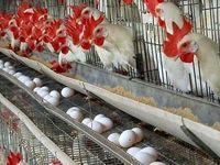 حقیقت جالب درباره مرغها