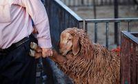 گوسفندان در انتظار +عکس
