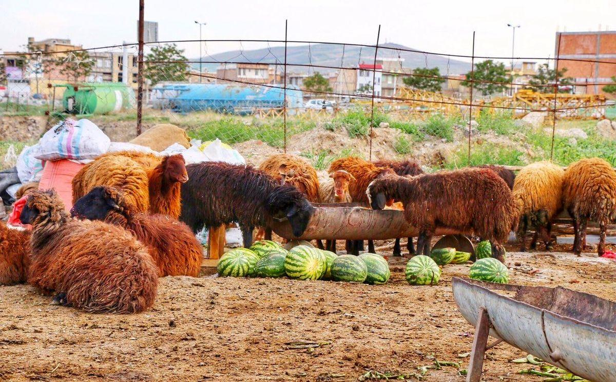 گوسفندان مشتریان پروپاقرص هندوانه های آبدار! +عکس