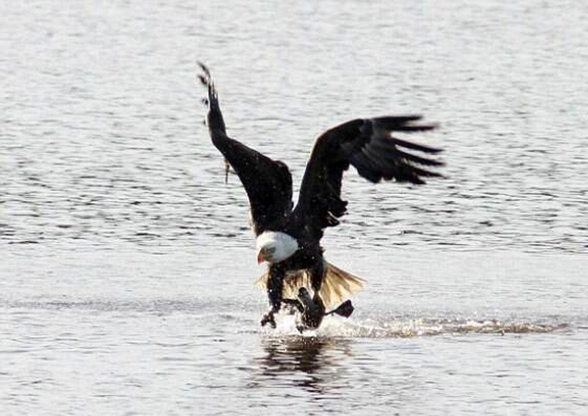 لحظه شکار اردک توسط عقاب +تصاویر