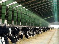 بلایی که بهزودی بر سر تامین شیر و لبنیات کشور میآید/ گاوهای شیری در مسیر کشتارگاه!