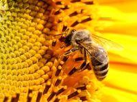 باور میکنید زنبورها هم معتاد میشوند؟