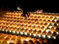 قیمت هر شانه تخممرغ به ۲۸هزارتومان رسید