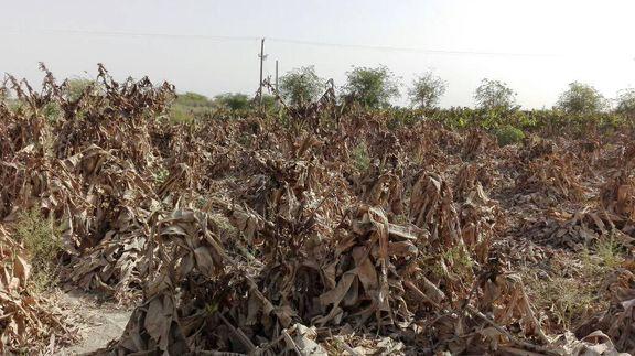 میلیاردها تومان خسارت به بخش کشاورزی چابهار وارد شد