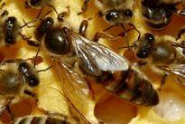 واردات ۳۷ تن موم زنبور عسل به کشور