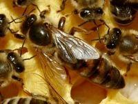 «ناپدید شدن زنبورها»، بلایی در زنبورستانها