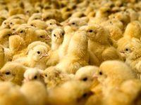 عرضه ۳۰درصد تولید جوجه یک روزه در بورس کالا