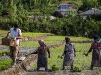 آغاز خرید توافقی برنج