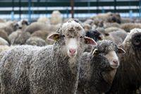 مراسم پشمچینی گوسفندان +عکس