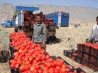 دفن گوجههای فرنگی به دلیل نبود خریدار