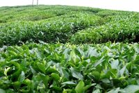 رشد ۱۶درصدی تولید برگ سبز چای