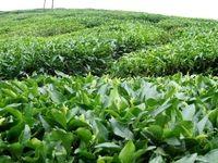 37 هزار تن برگ سبز چای درجه یک خریداری شد