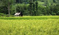 خوابیدگی برنج در شالیزارهای آستارا +عکس