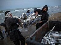 فصل ماهیگیری دریای خزر +تصاویر