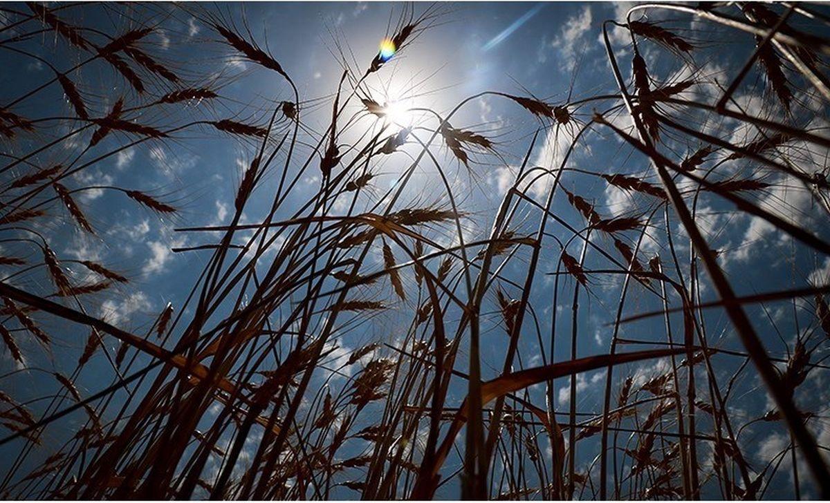 جلسه تعیین قیمت خرید تضمینی گندم بالاخره تشکیل میشود/ قیمت گندم نباید کمتر از پنج هزار تومان تعیین شود
