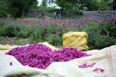 تصاویری زیبا از دشتهای  گل گاوزبان