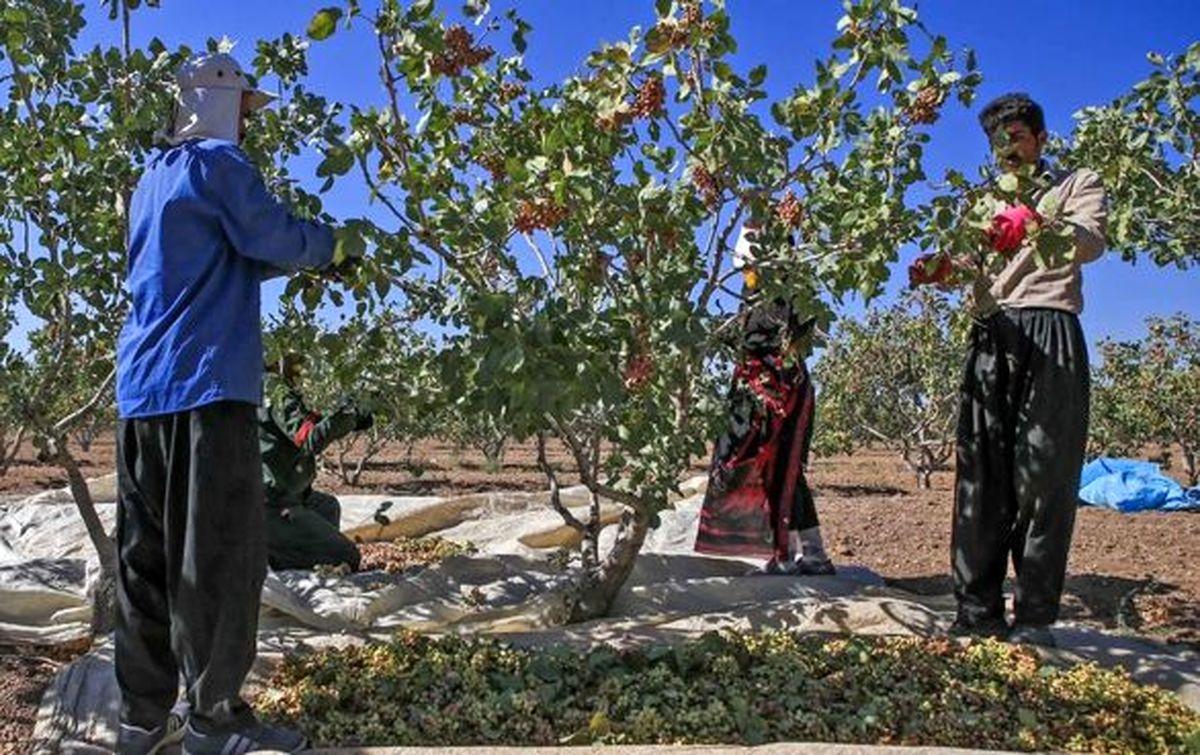 افت تولید درختان پسته تحت پوشش بیمه قرار میگیرد