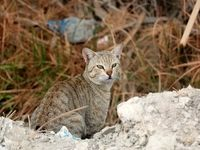 ثبت تصویر یک گربه وحشی در شهرستان سرباز