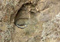 مشاهده پلنگ ایرانی در خلخال +عکس
