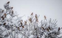 بارش برف در «سقز» +عکس