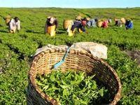 خبر تازه رئیس سازمان چای کشور برای چایکاران
