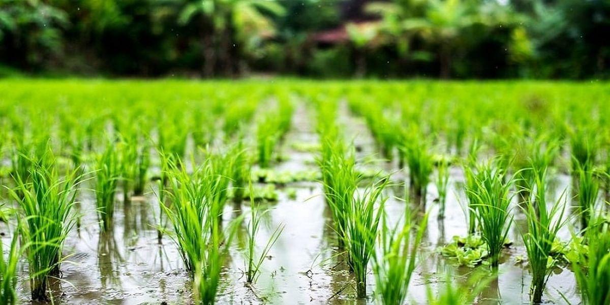 کشت برنج در مناطق مختلف با هماهنگی دستگاههای ملی تعیین میشود