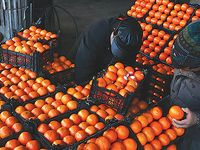 توزیع محمولههای پرتقال در سراسر کشور با نرخ مصوب آغاز شد