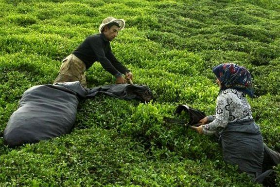 رشد ۱۱ درصدی صادرات چای ایران