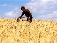 نرخ مناسب خرید تضمینی گندم چند است؟/ انباشت زیان کشاورزان با نرخ ۱۳۰۰تومان برای هر کیلوگرم گندم