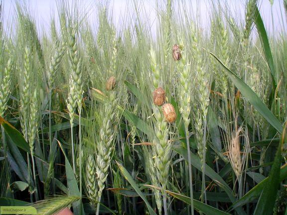 سطح مبارزه با سن گندم در 30سال گذشته کم سابقه است/ ملخهای کرمانشاه در کنترل هستند