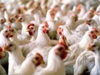تصمیمات یک شبه وزارت صمت به تولید مرغ رسید/ خطر افزایش قیمت و کاهش تولید مرغ!