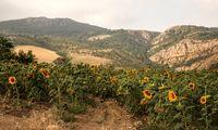 مزرعه آفتابگردانها +عکس