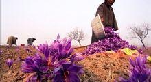 بهبود چشمگیر کیفیت زعفران در سالجاری/ تهدید صادرکنندگان یکبار مصرف برای بازار جهانی زعفران ایرانی