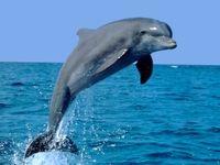 مشاهده دلفین در کارون تایید شد؟