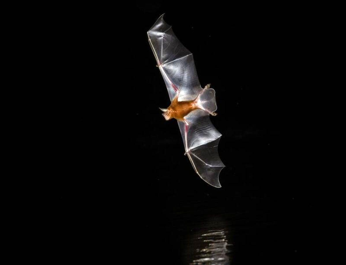 سازمان جهانی بهداشت: منشا کرونا خفاشها بودهاند
