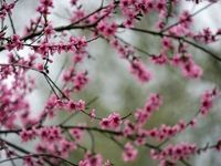 شکوفههای بهاری در تهران +تصاویر