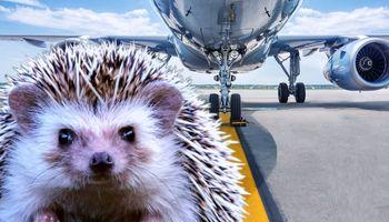 تاخیر پرواز یک هواپیما به خاطر عبور جوجه تیغی از باند فرودگاه