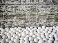 مزرعه پرورش تخم مرغ +تصاویر