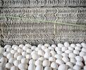۷۴ درصد؛ افزایش قیمت تخم مرغ در یکسال