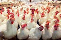 قیمت مرغ برای مصرف کننده، چند؟