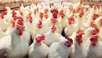 قیمت منطقی هر کیلوگرم مرغ 13500تومان است