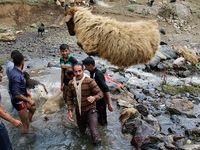 چیدن پشم گوسفندان +تصویر