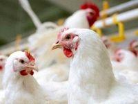 مشکلی در تامین گوشت مرغ شب عید وجود ندارد
