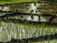 چرا برنج ایرانی گران است؟