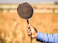 برداشت گلهای آفتابگردان در خرمشهر