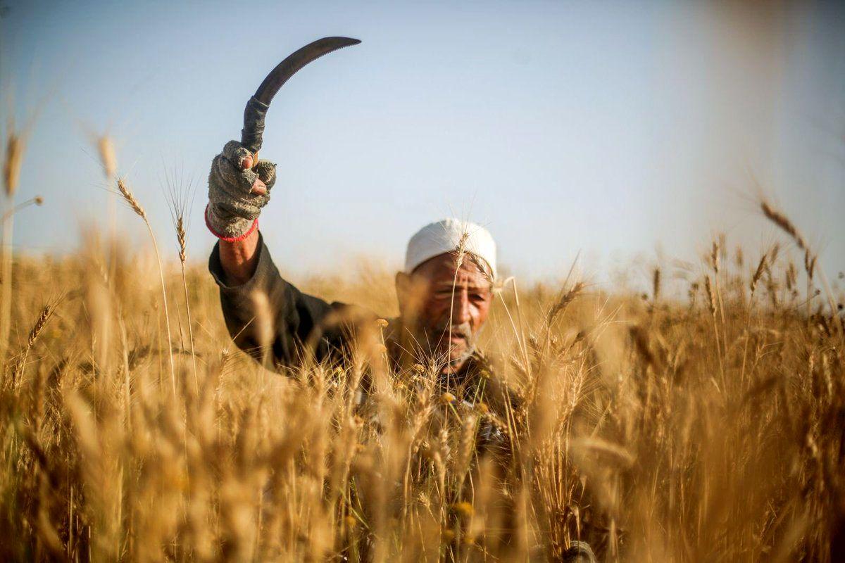 افزایش هزار تومانی قیمت گندم مشمول کدام کشاورزان میشود؟