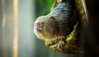 کوچکترین میمون جهان +عکس