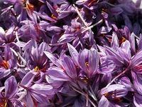 گرانی زعفران در فصل برداشت محصول