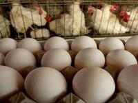 تخم مرغ گران شد